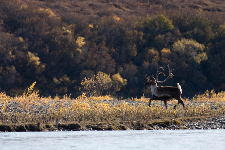 A caribou prances in the dawn, working his way along a river gilded by the rising sun.  The autumn colors are in full bloom.